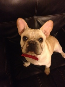 Spud the Super Frenchie!